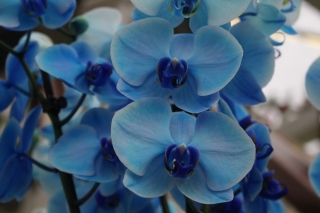 A blue orchid